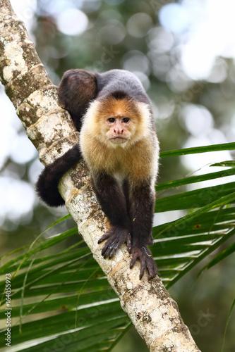 Valokuva  Capuchin monkey on a branch in Costa Rica
