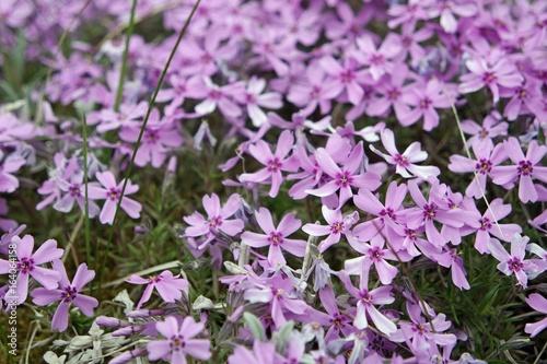 Foto op Canvas Azalea flowers from trentino