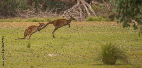 Jumping couple of kangaroos
