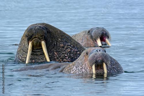 Plakat  3 Walrosse im Eismeer
