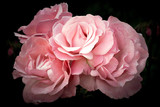 Pink roses, flowers on a dark background, soft and romantic vintage filter - 164070365