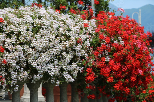 White and red geraniums in summer