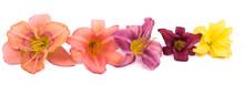 Flower Daylily On White Background