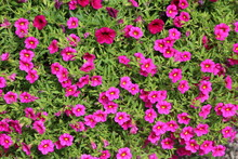 Pink Calibrachoa In Summer