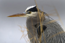 Great Blue Heron - Chesapeake ...