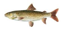 Freshwater Fish Of The Far Eas...