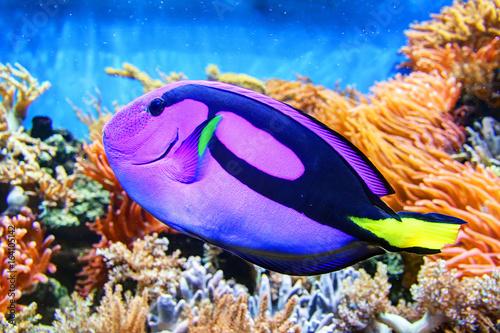 Obraz na dibondzie (fotoboard) Kolorowa ryba