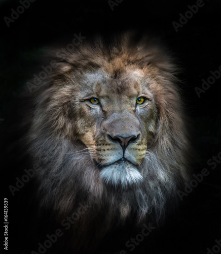 Fototapety, obrazy: portrait of a lion