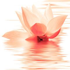 Obraz lotus orange