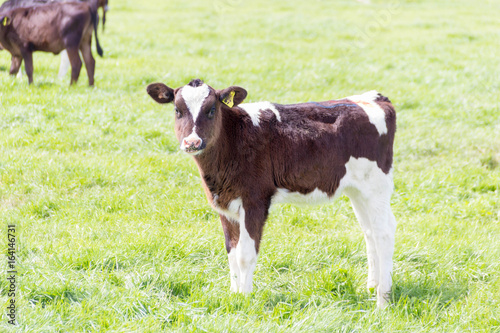 Poster de jardin Vache Calves on Pasture in New Zealand