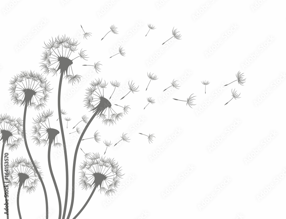 Fototapety, obrazy: Flower of field dandelion.