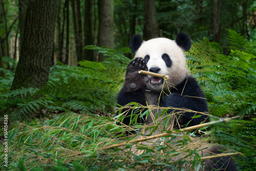 Poster Panda Panda bear eating bamboo and wave