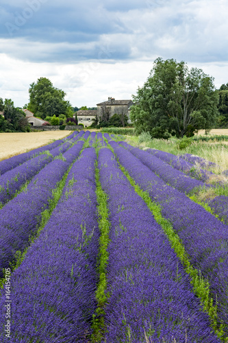 Fototapety, obrazy: Fields with lavender in the provence
