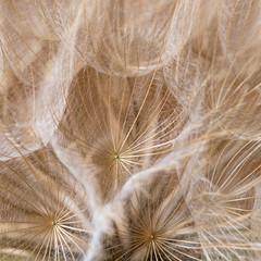 Fototapeta Optyczne powiększenie Tragopogon dubius, Dandelion, macro image