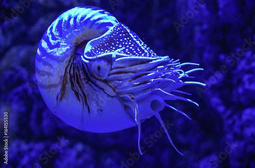 Obraz na plátně  Nautilus Pompilius (Chambered Nautilus) in the aquarium