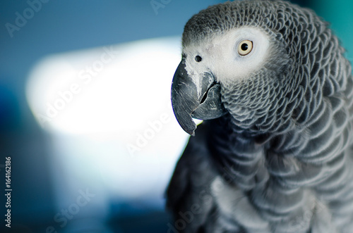 Portrait of a curious african grey parrot