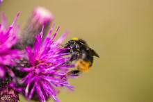 A Beautiful Wild Bumblebee Gat...