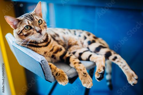 Bengal cat lies on grey chair Canvas Print