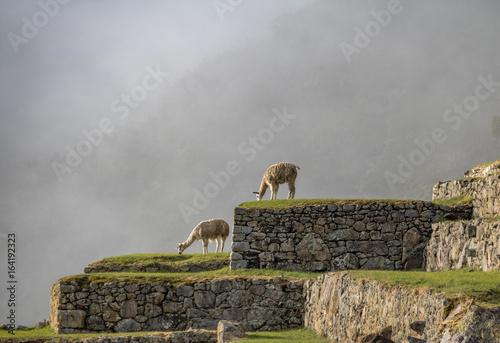 Fotografie, Obraz  Llamas at Machu Picchu Inca Ruins - Sacred Valley, Peru