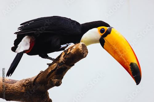 Foto op Canvas Toekan Low Angle View Of Toco Toucan Perching On Branch Against Clear Sky