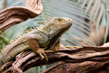 Close Up Of Iguana On Branch