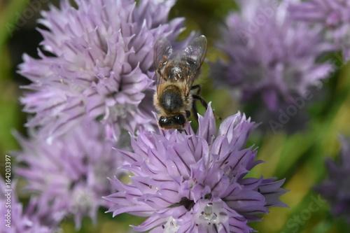 Fotobehang Lavendel ciboulette et abeille