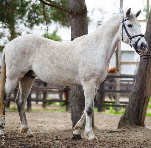 Deurstickers Ezel Snow white horse portrait