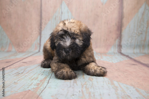 Deurstickers Franse bulldog Soft Coated Wheaten Terrier on a pattern background