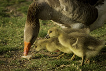 Goslings With Mom