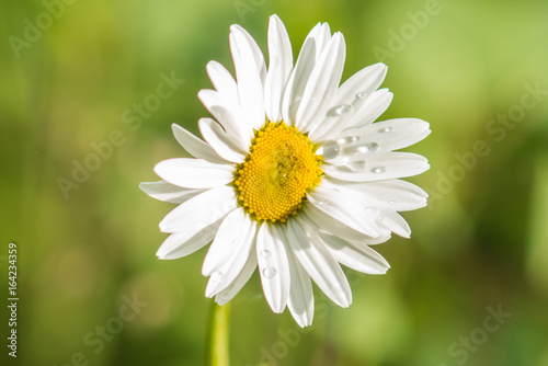 Poster Fleuriste Daisy (Chrysanthemum leucanthemum) in the Rain