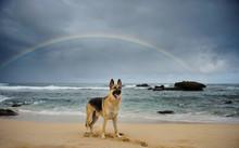 German Shepherd Dog On Beach W...