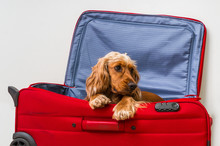 Cocker Spaniel Dog In Suitcase