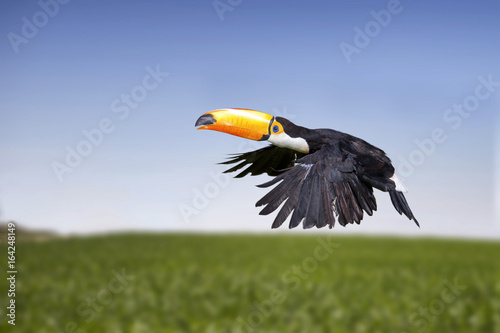 In de dag Toekan Toucan, a tropical bird