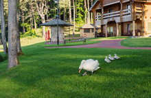 Swan With Cubs On The Grass Near The Wooden House