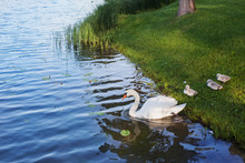 Swan With Cubs Near Lake