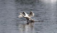 Mute Swan (Cygnus Olor) Landin...