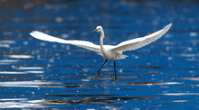 The Little Egret (Egretta Garz...