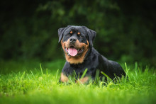 Rottweiler Dog Lying On The Grass