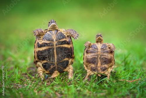 Two little funny tortoises
