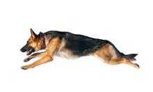 German Shepherd Dog In Jump