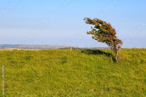Valokuva  A Windswept Tree