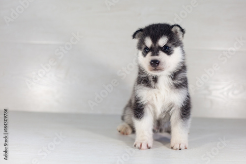Cute Siberian Husky Dog Puppy On A Light Background Buy This Stock