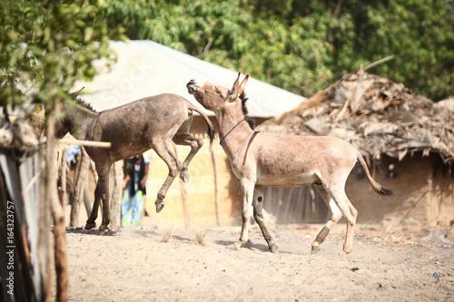 fighting donkeys