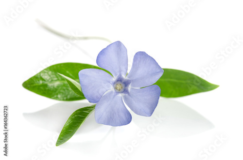 Obraz na płótnie Beautiful blue flower periwinkle on white background