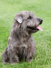 Irish Glen Of Imaal Terrier O...