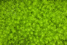 Gold Moss Sedum