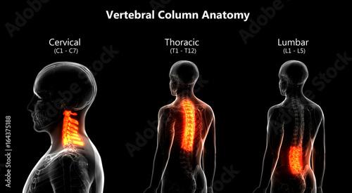 Cuadros en Lienzo Human Skeleton Vertebral Column Anatomy (Cervical, Thoracic, Lumbar Vertebrae)