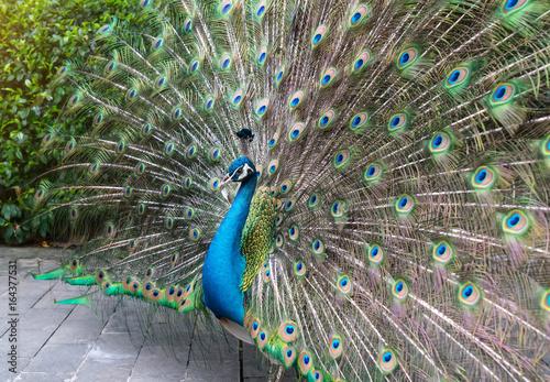 Fototapeta premium Beautiful spread of a peacock