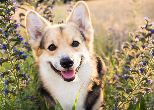 Photo Happy and active purebred Welsh Corgi dog outdoors in the flowers on a sunny summer day