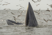Bryde's Whale, Eden's Whale,  ...